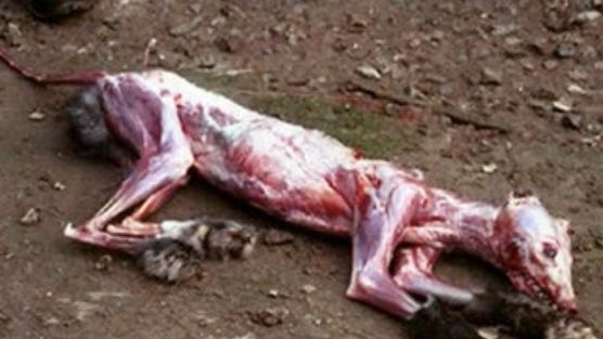 Investigation into Texas slaughter facility reveals ... |Being Skinned