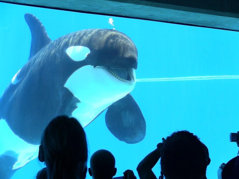 Orcas In Captivity Bring Orcas To uShaka ...